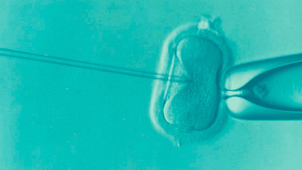 En la gestación subrogada se realiza la FIV / ICSI y la cultivación de los embriones
